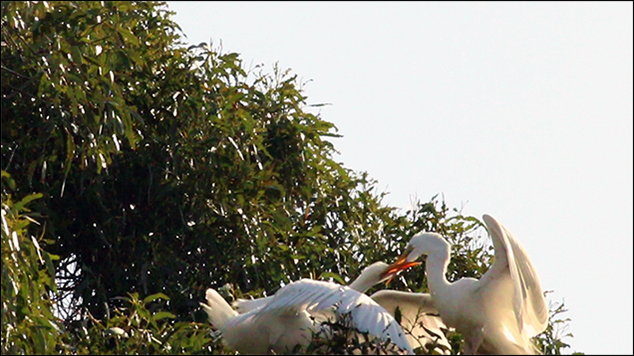 A Great Egret & Two Fledglings